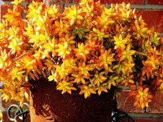 Sedum nussbaumerianum  World of Succulents