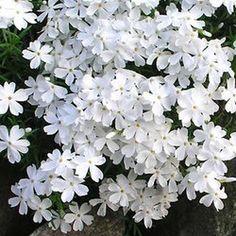 Phlox Subulata Snowflake