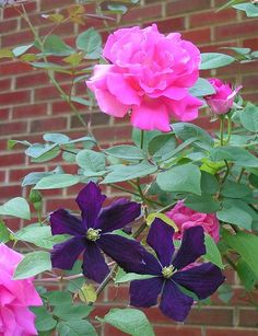 Roses & Clematis combo: climbing rose 'Zepherine Drouhin' and Clematis Jackmanii