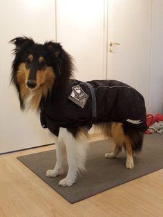 Amorwood's Joy n'Special: Uusi sadetakki , Sälli 10kk Rough Collie Puppy, Collie Puppies, Dogs, Animals, Animales, Border Collie Pups, Animaux, Pet Dogs, Doggies