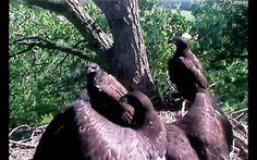 Decorah Eagles Nest Cam