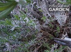 Lavender needs a spring haircut - The Fabulous Garden