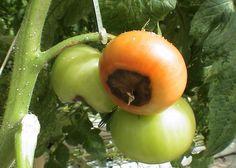 Вершинная гниль томатов: какое лечение, корневая помидоров, почему серая на плодах