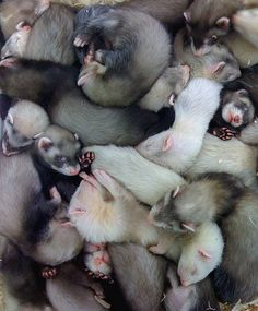 I want in that #ferret pile! sushination:  ferret pile by EidolonWeasel on Flickr. IMMA DIP IN DAT POOL OF Lo0o0o0ov.~ :( No srsly tho. I wish I could.