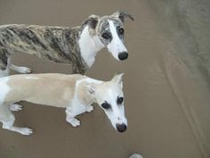 Two Whippets are Better than One: Ladies and Gentleman is my honor and privilege to announce the winner of our eleventh Whippet Dog Photo Contest.  And the winners are....   Miles and Lily