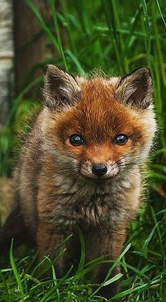 Beauty and the Harpsichord : Red Fox Kit Woodland Creatures, Cute Creatures, Beautiful Creatures, Animals Beautiful, Cute Baby Animals, Animals And Pets, Wild Animals, Malamute, Fox Art