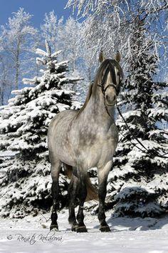 Andalusian- Horsephotos - Renáta Kolářová