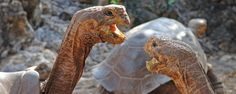Tortues géantes des Galapagos.