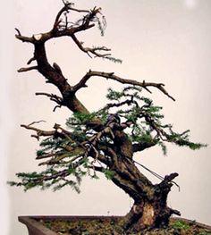 Picea Abies Bonsai in progress 4
