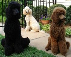 Poodle Standard Dog Breed Information - The Poodle Standard is one of the most popular dog breeds in the world. Little Dogs, Blue Merle, I Love Dogs, Cute Dogs, Giant Poodle, Poodle Cuts, Training Your Dog, Training Tips, Dog Behavior