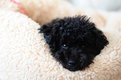 I am a blue #toypoodle, LONI ♂ born on Aug. 1. 2015. #bluepoodle
