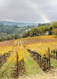 A rainbow adds color to a golden vineyard at the Trinchero Estate North of St. Helena, Ca
