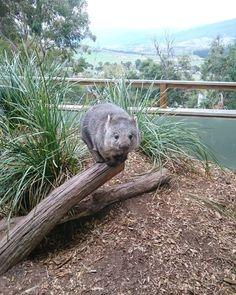 Wombat, Funny Animals, Cute Animals, My Animal, Mammals, Pugs, Wildlife, Creatures, Birds