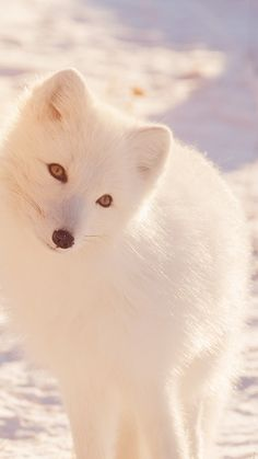 Get Wallpaper: http://bit.ly/2yN8YHe mz78-winter-animal-fox-white-flare via http://iPhone6papers.com - Wallpapers for iPhone6 & plus