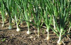 Секретные подкормки зеленого лука. И станет лук не горьким, а сочным и сладким | У-Дачный канал советы от Арины | Яндекс Дзен