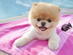 On the blow up bed in the pool lies a Pomerania puppy