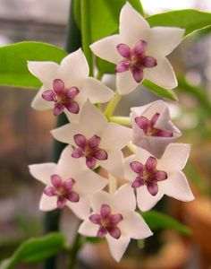 Hoya bella Wax Flowers, Flowers Nature, Exotic Flowers, Amazing Flowers, Pretty Flowers, Exotic Plants, Smelling Flowers, Jolie Fleur, Le Jolie