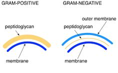 P-A structural difference between Gram + and Gram - bacteria (1.2) [Peptidoglycan layer] Gram + and Gram - bacteria both have a peptidoglycan layer; however, Gram + have a thicker layer of peptidoglycan than Gram - have.