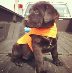 Chocolate lab hunting puppy