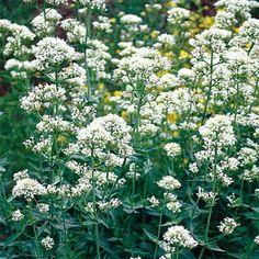 jupiter's beard flower albus   jupiter s beard centranthus ruber albus grown from jupiter s beard ...