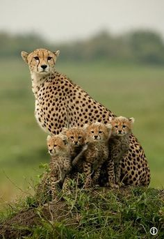 a beautiful cheetah family. cheetahs have a hard time raising their young to adults. hopefully this mama was able Nature Animals, Animals And Pets, Baby Animals, Cute Animals, Wild Animals, Beautiful Cats, Animals Beautiful, Beautiful Family, Beautiful Babies