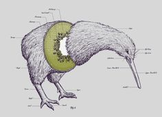 Joseph Lee's Kiwi anatomy