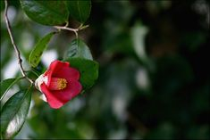 그 이름을 부르기 전에 :: 동백꽃 뚝뚝 떨어지듯 간 너에게 Still Life, Flower Power, Beautiful Flowers, Nature, Plants, Pictures, Gardening, Wallpapers, Watercolor