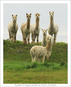 Alpacas in ireland