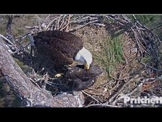 Mom begins a nice long session today of grooming (allopreening) E9. Most eaglets do not like it when Mom preens them but E9 tolerated it pretty well today. E...