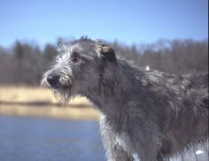 Irish Wolfhound....I will hunt, track and catch a pig with a dog exactly like this one day....watch me.