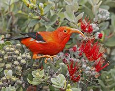 `I`iwi; Endemic to Hawaii  Photo © Jack Jeffrey, with permission.