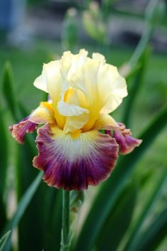 'Rainbow High' Iris---love seeing different Iris colors!
