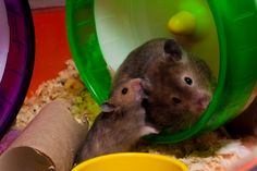 Photos - Google Types Of Animals, Cute Animals, Hamster Life, Syrian Hamster, Hamsters, Pets, Awesome, Google, Fluffy Animals