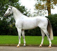 KWPN Dutch sport horse, Whispering Hope STB.
