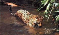 Endangered Jaguar Population Found in Campeche, Mexico