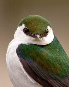 Violet-green Swallow. Beautiful colour pattern and sweet appearance, this Swallow lives only in America and nests in cavities in a tree or rock crevice.