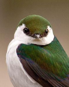 Violet-green Swallow (Tachycineta thalassina) Фиолетово-зелёная американская ласточка