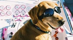 size_810_16_9_dogllers - doggles - oculos para animais
