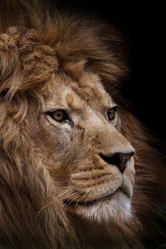 Meet Milo, A Barbary Lion