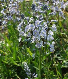 Unelmatädyke Plants, Flowers, Veronica