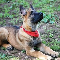 Check the link in my @thegermanshepherdworld profile and choose your GSD  or hoodie! International shipping! Follow my Pawtners: @schnauzerworld @staffymoments @bulldogdays @greatdanemoments  NOTE! This photo is taken and reposted from: @_._.animals_passion._._  All images are copyright to their respective owners.  by thegermanshepherdworld