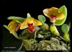 Dendrobium sayeria atroviolacium v. pygmy. A species orchid (color)