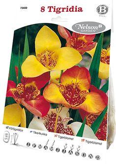 Suuri kolmiomainen kukka on todella erikoinen keskiosan komeine täplineen. Sopii hienosti penkin väritäpläksi sekä ruukkuun. Koristeellinen kesäkukkien joukossa ja muiden kesällä kukkivien sipuli- ja mukulakasvien seurana.  - See more at: http://www.nelsongarden.fi/fin/eur/p/kevatsipulit_320/tiikerikukka_73400#sthash.esOSUszj.dpuf