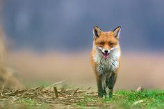 Foxy Foxtrot by Mike Muizebelt