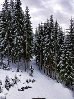 Download Wide Shot Of A Forest Full Of Pine Trees With A Blue Sky In Winter for free
