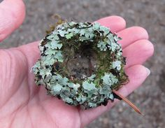 Hummingbird Nest by seventreesfarm: A work of art made of moss, dog-toy-stuffing, fir needles, and wrapped in lichen. I love hummingbirds. Small Birds, Little Birds, Pet Birds, Bird Nest Craft, Hummingbird Nests, Bird Boxes, Bird Feathers, Natural World, Beautiful Birds