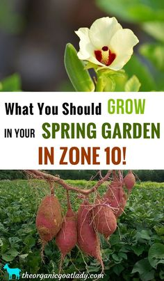 Are you looking for the best zone 10 plants to grow in your spring garden? Gardening zones truly do determine what you can and can't plant! Read this before planting your spring vegetable garden! Spring Vegetable Garden, Spring Garden, Herb Garden, Box Garden, Vegetable Gardening, Veggie Gardens, Flower Gardening, Zone 10 Plants, Plant Zones