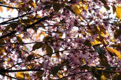 Roihuvuoren kirsikkapuisto #helsinki #finland