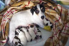 Sencha the Jack Russel with newborn puppies