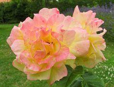 15882 - Roses superbes.. 玫瑰 꽃 연분홍 장미